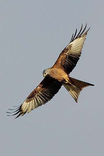 Red Kite in flight at Argaty Red Kites