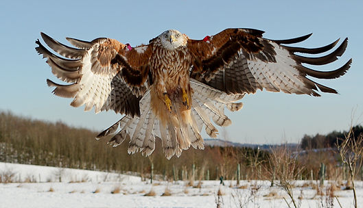 Red Kites coming into to land