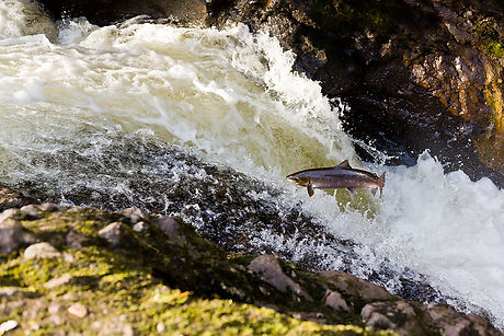 Salmon leaping at Buchanty Spout Perthshire