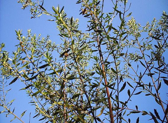 baccharis-drancunculifolia.jpg