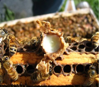 A cell full of royal jelly.jpg