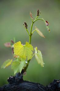 Viticulture @Kalice.jpg