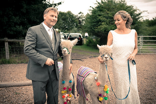 Alpacas at your Wedding or Special Day