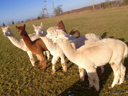 Alpacas Breeding & Pets - from