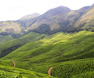tea plantation munnar.jpg