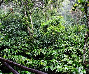 cardamom plantation.jpg