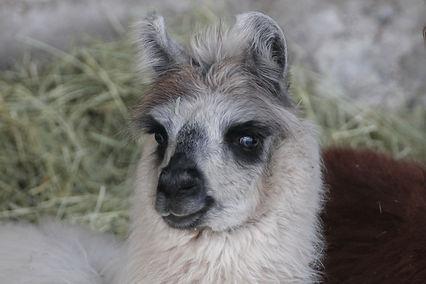 Laama - Laamat - Metsälammen laamat - Llama - Llamas - Wooly llama - villalaama - myytävät laamat - llamas for sale