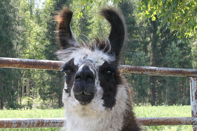 Laama - Llama - Metsalammen laamat - Wooly llama - Laamat
