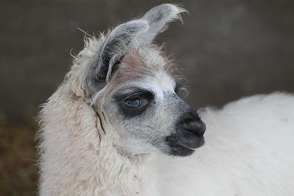 Luna laama - metsalammen laamat - llama - wooly llama
