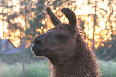 Laama - Laamat - Metsälammen laamat - Llama - Llamas - Wooly llama