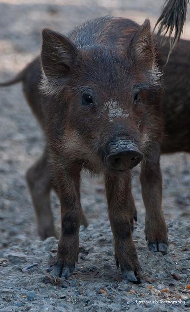 Piglet Tuscany Italy