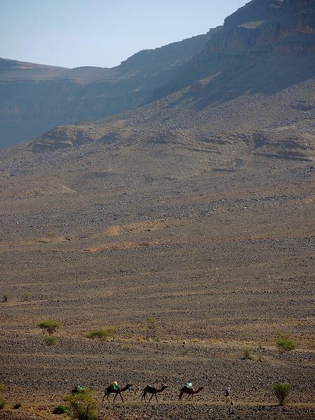 Sahara desert camels Morocco