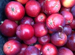Hislop ābolu šķirne