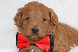 golden doodle puppies lasting legacy