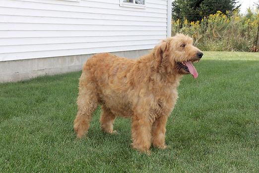golden doodle puppies lasting legacy puppies