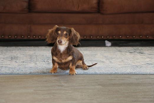 mini dachshund puppies lasting legacy puppies