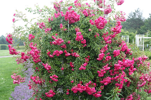 Роза Эксцельза (Excelsa). Плетистая роза от Розебук.