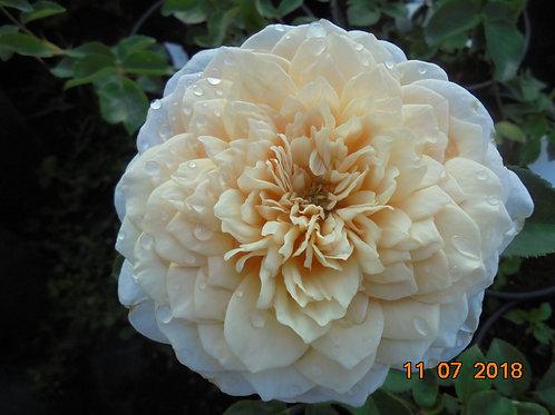 Роза Инглиш Гарден (English Garden). Английская роза от Розебук