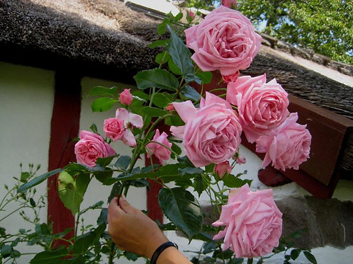 Роза Корал Доун (Coral Dawn). Клаймбер от Розебук