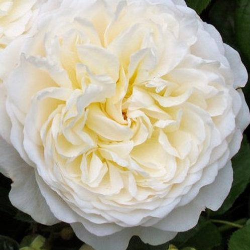 Роза Транквилити (Tranquillity). Английская роза от Розебук