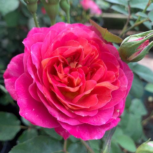 Роза Сантенер де Лей-Ле (Centenaire de l'Haÿ-les-roses), шраб модерн