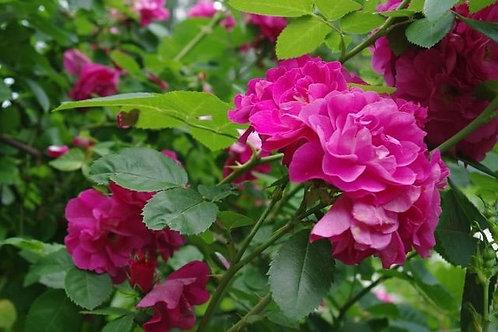 Роза Джон Кэбот (John Cabot) Канадская
