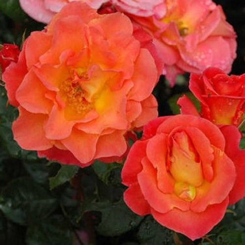 Роза Эвелин Мэй (Evelyn May). Парковая роза от Розебук