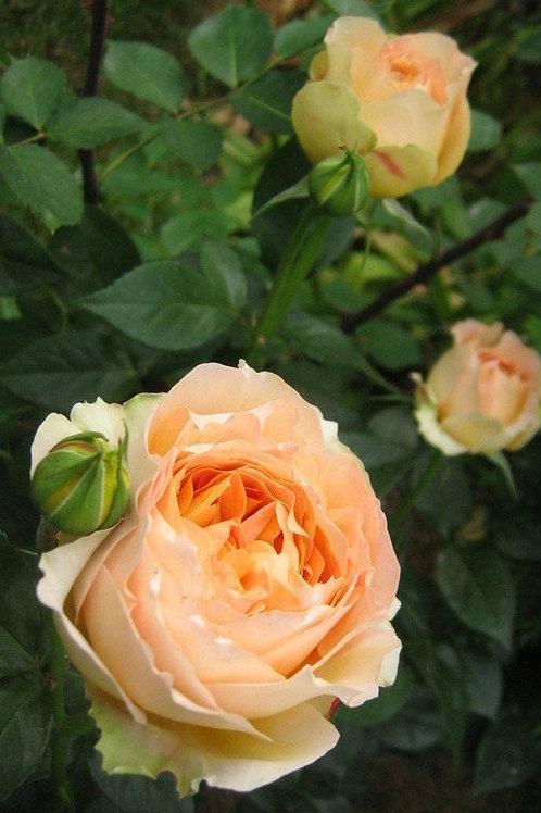 Роза Карамель Антик (Caramel Antike) Чайно-гибридная