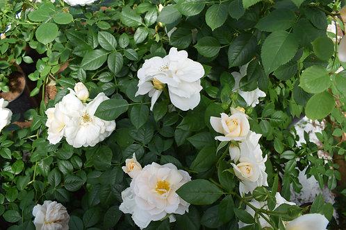Роза Лионс Розе (Lions Rose) Флорибунда