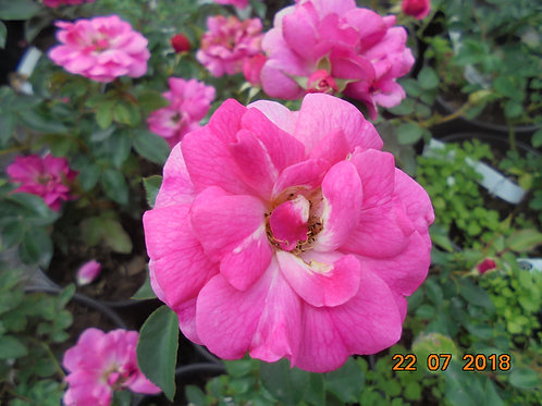 Роза Сладкая Вигороса (Sweet Vigorosa) Флорибунда