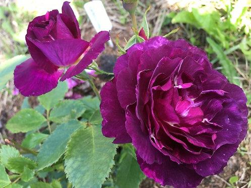 Роза Мистерьёз (Mysterieuse) Флорибунда