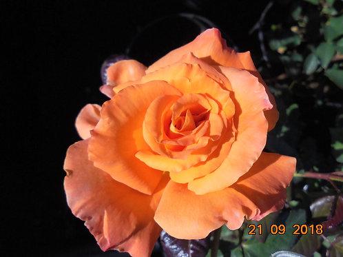 Роза Флора  Даника (Flora Danica ) Чайно-гибридная