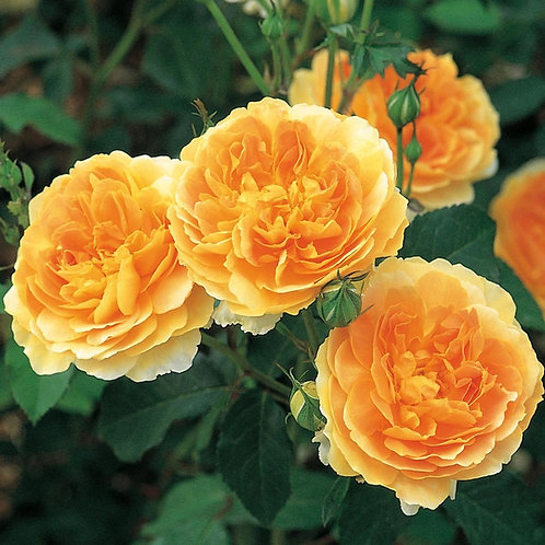 Роза Молинью (Molineux). Английская роза от Розебук