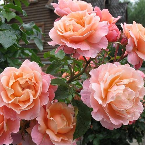 Роза Мари Кюри (Marie Curie) Флорибунда