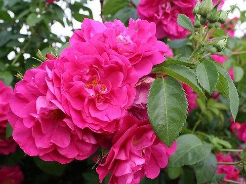 Роза Генри Келси (Henry Kelsey). Канадская роза от Розебук
