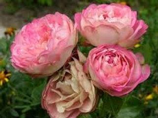 Роза Акрополис (Acropolis). Флорибунда от Розебук