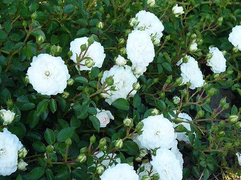Роза Суоми (Swany) Почвопокровная
