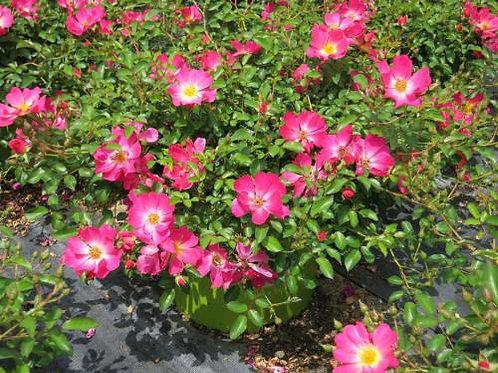 Роза Пинк Дрифт (Pink Drift) Шраб модерн