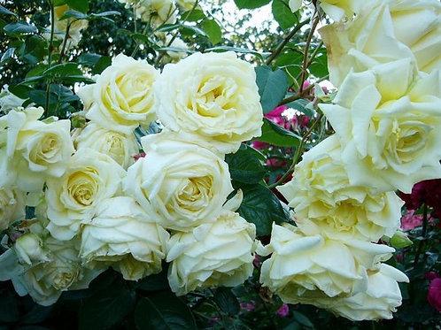 Роза Эльф (Elfe). Плетистая роза от Розебук.