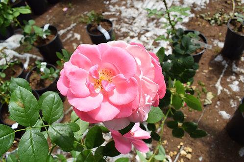 Роза Пальменгартен Франкфурт (Palmengarten Frankfurt) Почвопокровная