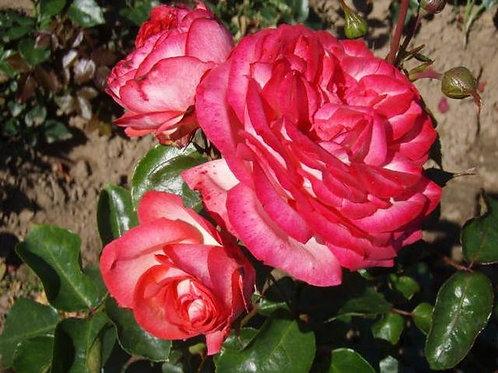 Роза Антике (Antike). Клаймбер от Розебук
