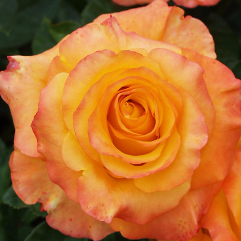 Роза Оранж  Джус (Orange Juice) Чайно-гибридная