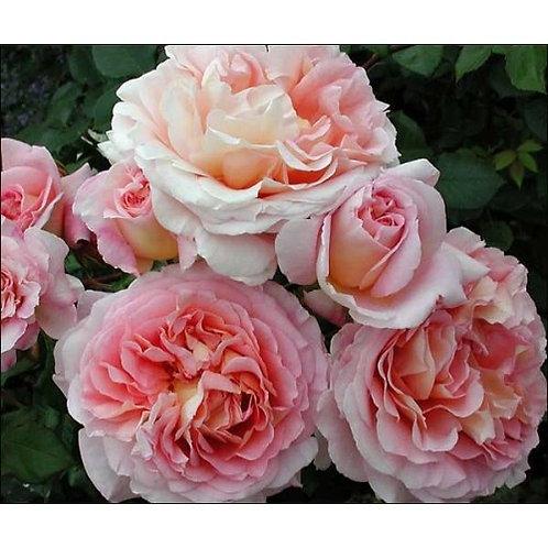 Роза Абрахам Дерби (Abraham Derby). Английская роза от питомника саженцев роз Розебук в Подмосковье.