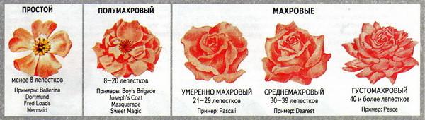 Розы по количеству лепестков