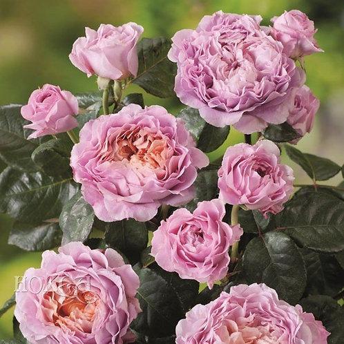Роза Айсфогель (Eisvogel) Чайно-гибридная