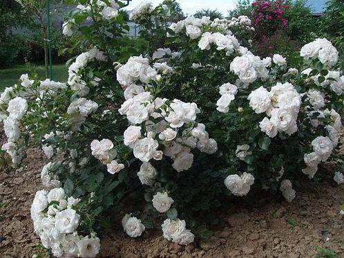 Роза Аспирин Роз (Aspirin Rose) Флорибунда
