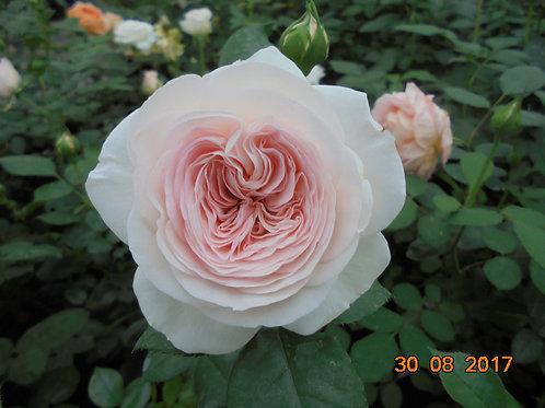 Роза Мария Тереза (Mariatheresia) Германия, 2003г. Флорибунда