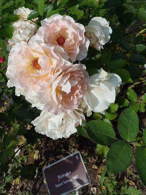 Роза Рококо (Rokoko) Шраб модерн