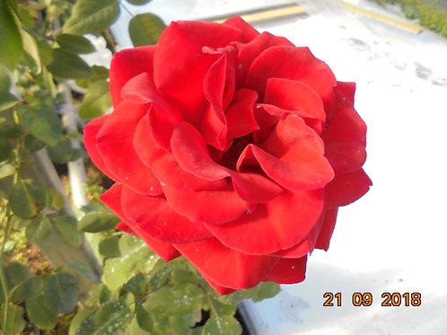 Роза Гранд Отель (Grand Hotel). Плетистая роза от Розебук.