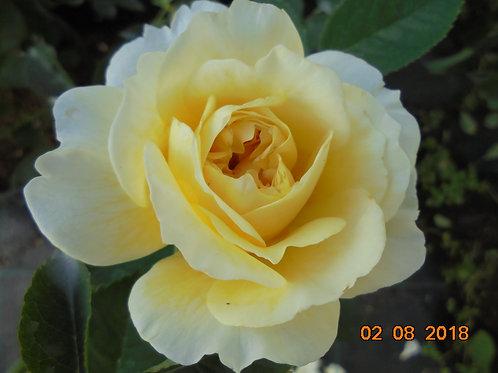 Роза Шарлотта (Charlotte). Английские розы от Розебук.